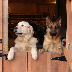 Farm dogs